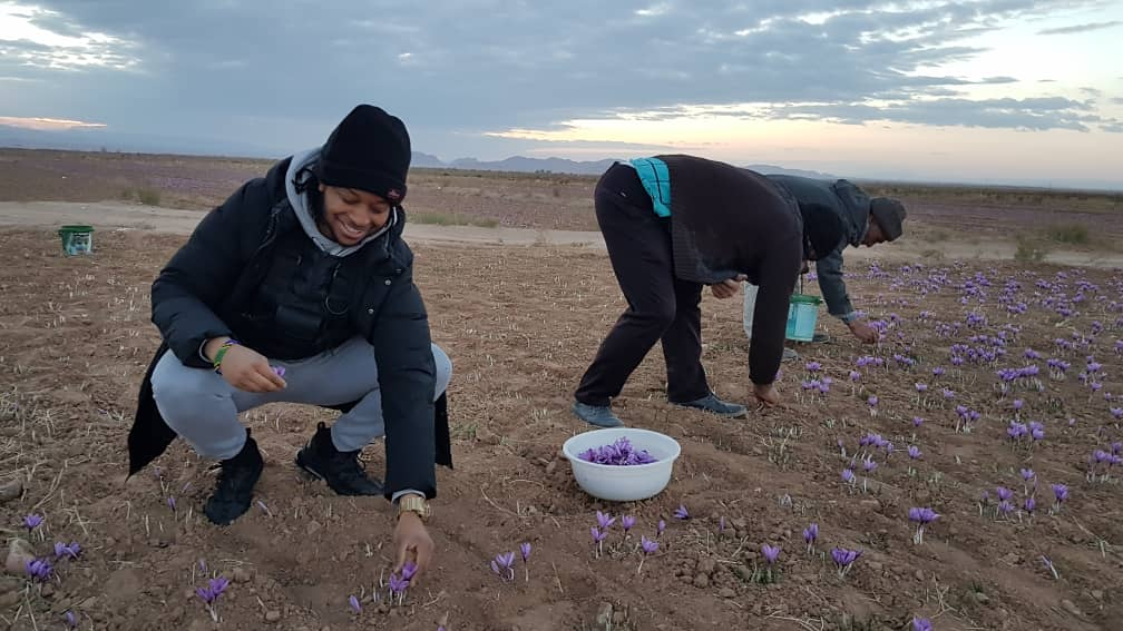 Day 2:  Picking Saffron flowers