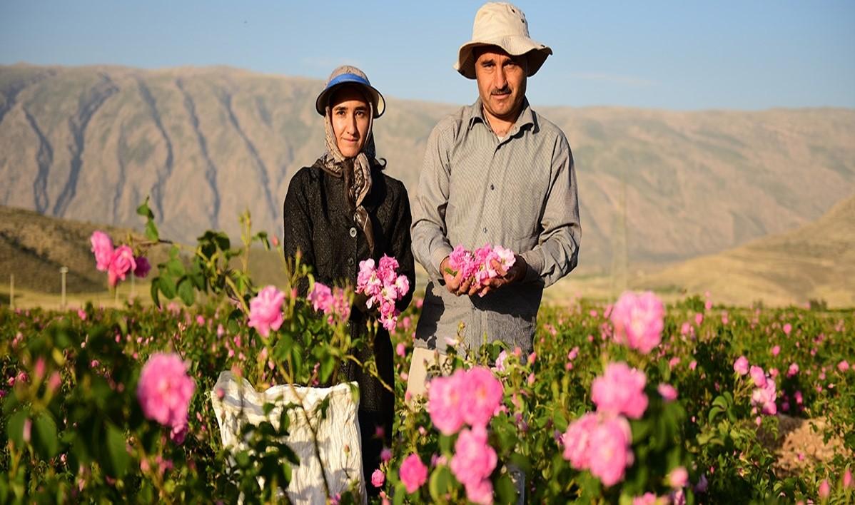 Iran Rose