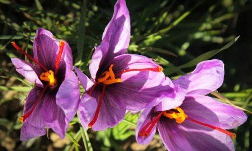 Saffron-farms-Ghaenat-Iran-3
