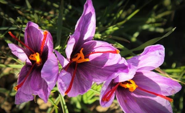 Persian Saffron Details
