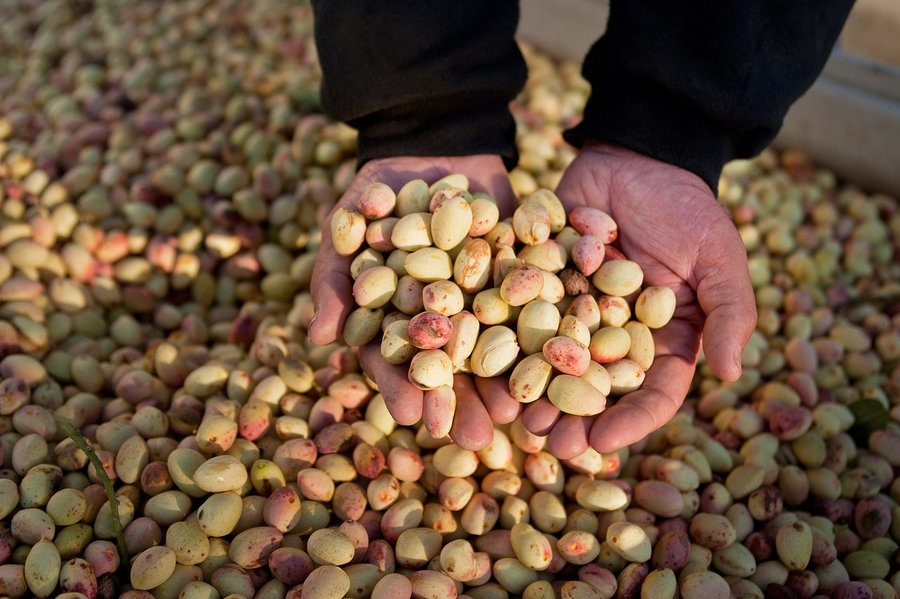 pistachio one of the Iranian famous products