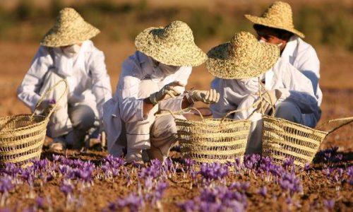 saffron-harvesting-iran-wikipedia