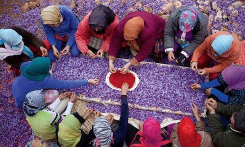 vanity_fair_moroccan_women_handpicking_saffron_pistils_medicine_hunter_main