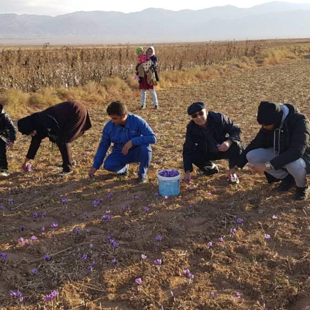 saffron harvest friendlyIran